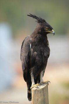 funnywildlife: Long-crested Eagle (Lophaetus occipitalis) by Hans Olofsson on Flickr.BirdingUganda