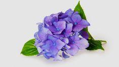 Урок №2: ▼ Соцветие гортензии из фоамирана