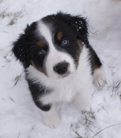 FloJo in the snow (black tri Imagineer Aussie puppy) Toy Aussie, Aussie Puppies, Cute Puppies, Medium Sized Dogs, Family Dogs, Best Dogs, Dog Cat, Corgi, Cute Animals