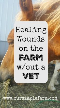 Our Simple Farm: Healing Wounds on the Farm(without a vet)