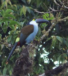 Tropical Birds, Colorful Birds, Bird Pictures, Horse Pictures, Small Birds, Pet Birds, Beautiful Birds, Animals Beautiful, Kakapo Parrot