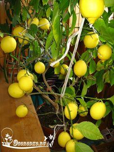 Если вы знаете, как ухаживать за лимоном в домашних условиях весной и летом, осенью и зимой, то цветение и плодоношение будет круглый год. Но, как поливать лимон во время цветения, чем подкормить и удобрить во время плодоношения?