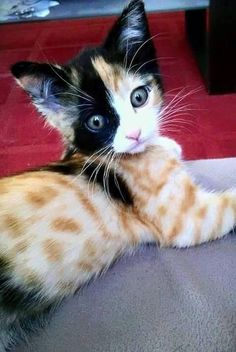 "Amazing pattern on this ""painted"" kitten. For more awesome cat pics, join us at https://www.facebook.com/catloversonly"