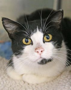 Swenson is an adoptable Tuxedo searching for a forever family near Minot, ND. Use Petfinder to find adoptable pets in your area. Tuxedo Cats, Raining Cats And Dogs, Cat Facts, Cute Baby Animals, Animal Shelter, Cats And Kittens, Dogs And Puppies, Cute Babies, Cat Lovers