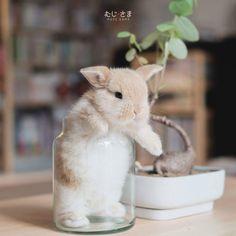 MIKU Day 24 🐰🌸 @mikusamaa กระต่ายล้นแก้ว  #bunny #rabbit #hollandlop #rabbitstagram #cute #adorable #love #animal #pet #cute #pets #instagood #animales #love #nature #animallovers #petstagram #ferreira #fer #funny #ferrari #ferrero #bangkok #thailand #bkk #rabbitshop #ferfunny #rabbitthailand #bunnythailand #mikujung #miku #mujisama