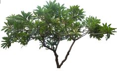 20 Free Tree PNG Images  - plumeria01L