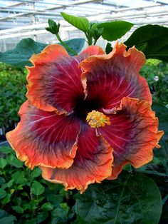 Tahitian Hibiscus 'Purple Passion'