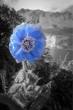 splash of color on blackand white photo   Visit itunes.apple.com / blue flower