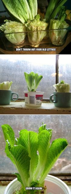 a regrow lettuce how to.I have head lettuce growing in my basement now.wish I would of done this earlier with all the lettuce we have used. Romaine Lettuce Growing, Regrow Lettuce, How To Grow Lettuce, Regrow Celery, Grow Lettuce Indoors, Vegetable Garden, Garden Plants, Indoor Plants, Urban Gardening
