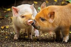 raspberrytart:  picture-perfect-world:  allcreatures:  debbipete:  Pig Kiss (by Dachshund Clube)