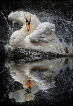 ~~Morning Shower ~ Swan by Paul Keates~~