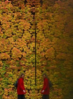 A woman is reflected in a building as she views autumn colours of a climbing plant across a wall in central London