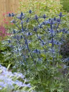 """Eryngium zabelii """"Big Blue"""" Sea Holly"""