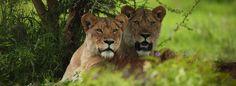 Lion sighting on the Northern Safari Circuit, Tanzania