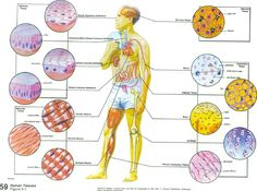 Printables Body Tissues Worksheet human tissue organ level an consists of 2 or more tissues