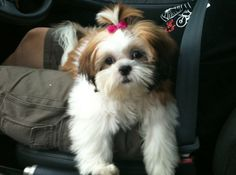 Shih Tzu Hair Styles for Male 10