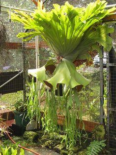 https://flic.kr/p/5NcJsv | staghorn fern-platycerium-grande-www.platyceriumferns.com | (staghorn fern) Platycerium grande You can buy a Platyceycerium grande at www.platyceriumferns.com