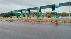 Antes del clásico, tiraron 250 gallinas en el estadio Kempes | ElDoce.tv