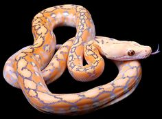Image result for Reticulated Python Morphs