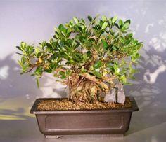green emerald ficus bonsai treebanyan style ficus microcarpa. Black Bedroom Furniture Sets. Home Design Ideas