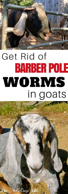 Raising Goats | Goat Health | Barber Pole worms are blood sucking parasites that cause anemia and even death. Learn how to treat barber pole worms in goats and keep them away for good!
