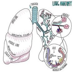 biology notes The Larynx - Blood and Nerve Supply Lung Anatomy, Anatomy And Physiology, Body Anatomy, Nursing School Notes, Medical School, Nursing Schools, Ob Nursing, Med Student, Medical Students