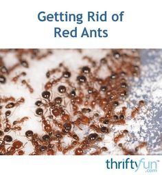 Getting rid of red ants can be a chore. Depending on where they are, inside or in your yard or garden, will define the method or products you use to get rid of them. This is a guide about getting rid of red ants. Ants In Garden, Garden Pests, Ant Remedies, Natural Remedies, Small Watering Can, Ant Insect, Ant Spray, Ants In House, Diy Pest Control