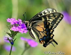 Swallowtail Butterfly Photography color nature by NatureVisionsToo, $15.00