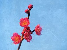 Japanese plum blossoms with texture