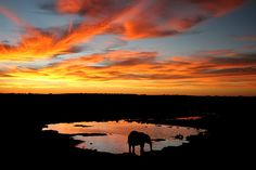 Elephant at Sunset in the Etosha National Park, Namibia by Bev Allport