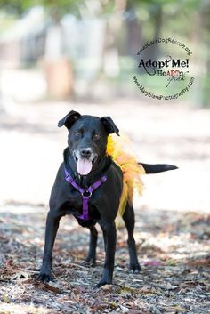 Meet Lady Bird, an adoptable Labrador Retriever looking for a forever home. If you're looking for a new pet to adopt or want information on how to get involved with adoptable pets, Petfinder.com is a great resource.