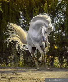 """The divine carthusian stallion Argentino XXV Ignacio Alvar-Thomas "" Most Beautiful Horses, All The Pretty Horses, Cute Horses, Horse Love, Grey Horses, Horse Photos, Horse Pictures, Equine Photography, Animal Photography"
