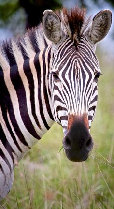 Zebra Close-up - photo by Jeroen Diks