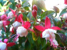 Λουλούδια για το μπαλκόνι: σκουλαρικιά | Κηπολόγιο Home And Garden, Backyard, Pure Products, Rose, Nature, Plants, Diy, Beauty, Gardening