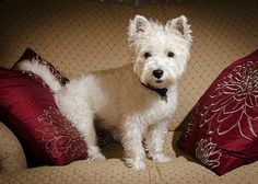 Flickr Search: west highland terriers | Flickr - Photo Sharing!