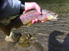 Italian Brown Trout 2