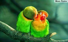 Mutlu Patilerr: Gökkuşağı Kıvamındaki Cennet Papağanları...