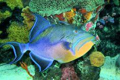 Queen Triggerfish by Kristin Elmquist Saltwater Aquarium, Aquarium Fish, Parrot Fish, Beautiful Sea Creatures, Tropical Fish, Tropical Paradise, Beautiful Fish, Sea Fish, Ocean Life