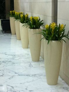 Yellow Guzmanias planted in poly stone containers