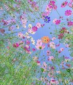 Cosmos Flowers, Wild Flowers, Beautiful Flowers, Small Flowers, Blue Flower Wallpaper, Nature Wallpaper, Flowers Instagram, Cottage Garden Design, Flower Aesthetic