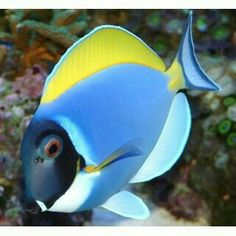 Powder Blue Tang Fish (Acanthurus leucosternon) another member of our little ocean Saltwater Aquarium Fish, Saltwater Tank, Freshwater Aquarium, Beautiful Sea Creatures, Deep Sea Creatures, Marine Aquarium, Marine Fish, Colorful Fish, Tropical Fish