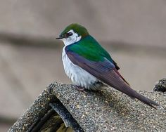 Violet-Green Swallow (photo by Deon van den Heever)