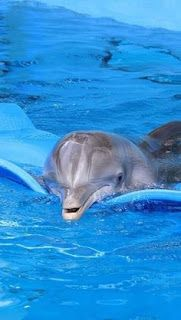 BLOG OBRAZKI: DELFINY Orcas, Beautiful Creatures, Animals Beautiful, The Ocean, Clearwater Marine Aquarium, Dolphin Tale, Bottlenose Dolphin, Water Animals, Delphine
