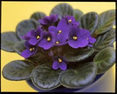 Saintpaulia, House Plant Care, Houseplants, Indoor Plants, Home And Garden, Gardening, Flowers, Plants, Inside Plants
