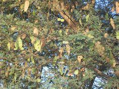 Acacia Senegal       pods and leaves        Three-thorned Acacia          Driehaakdoringboom