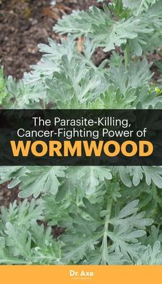 The Herb Kills Parasites & Cancer Cells! What to watch out for and what to know — read on to get your full dose of wormwood education.What to watch out for and what to know — read on to get your full dose of wormwood education. Natural Cancer Cures, Natural Health Remedies, Natural Cures, Natural Healing, Herbal Remedies, Healing Herbs, Medicinal Plants, Herbs For Health, Health And Fitness