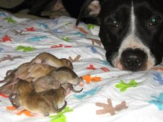 Pit Bulls: So gentle they wouldn't hurt a mouse. (Or, in this case, a baby rat.)