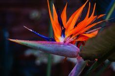 Cómo cuidar el Ave del paraíso - http://www.jardineriaon.com/como-cuidar-el-ave-del-paraiso.html #plantas