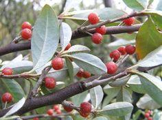 Elaeagnus umbellata - autum olive