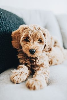 mini goldendoodle - i like it - Chien Cute Dogs And Puppies, Baby Dogs, I Love Dogs, Doggies, Mini Puppies, Puppies Tips, Fluffy Puppies, Mini Goldendoodle, Cockapoo